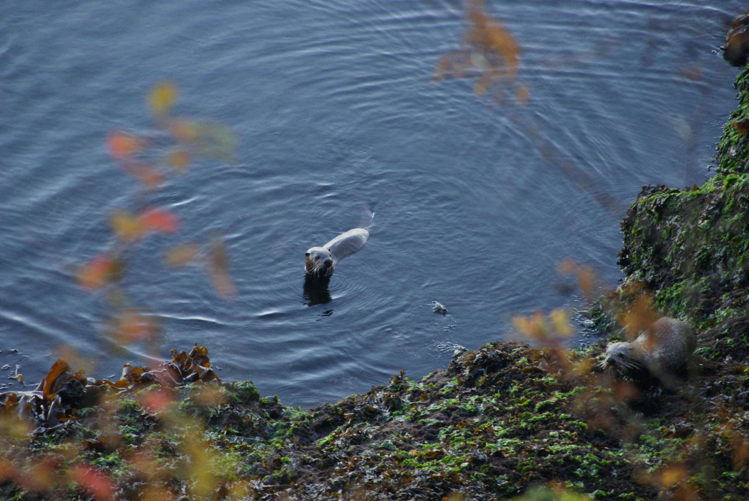 San Juan Island River Otter Pacific Northwest