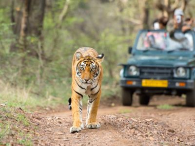 Wildlife Travel tiger safari india
