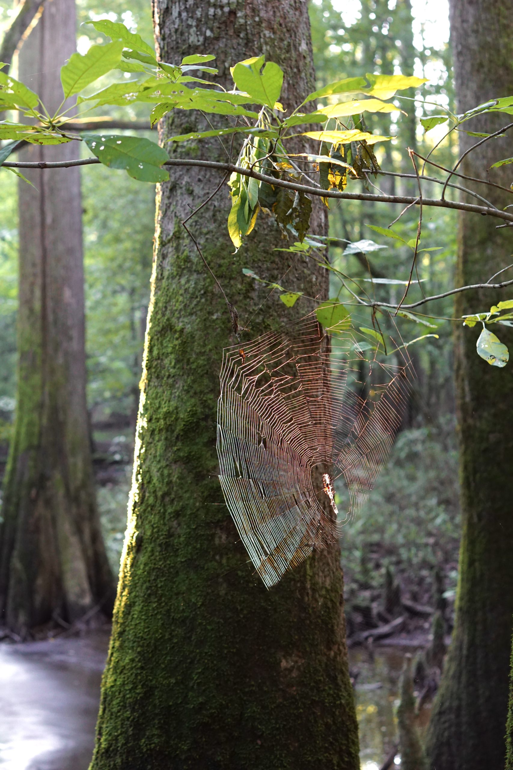 Spider web at Congaree National Park