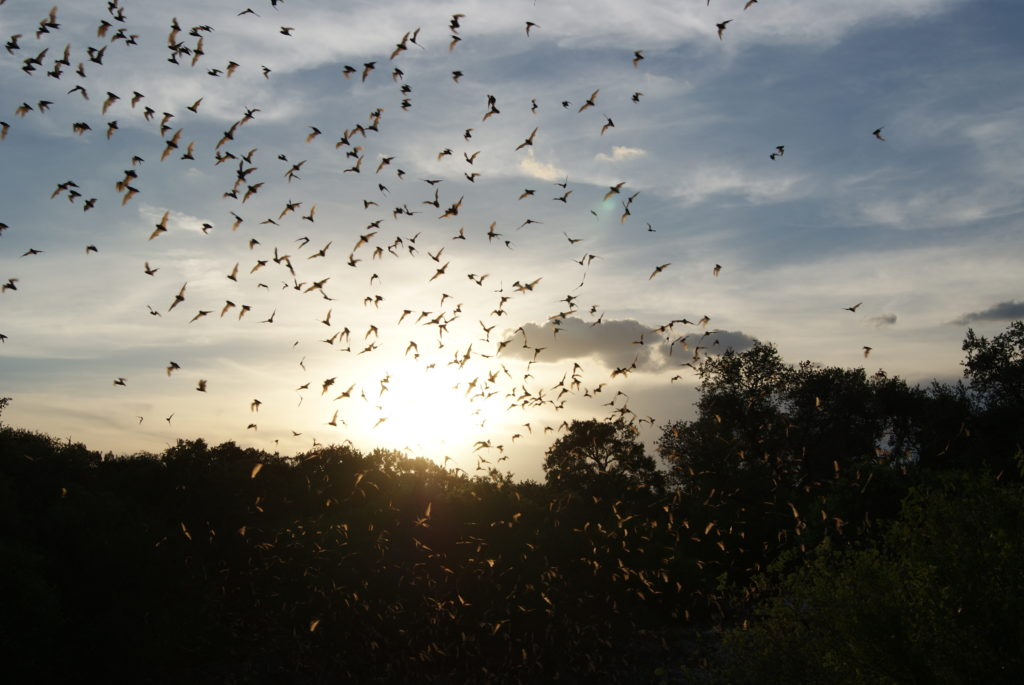 Mexican free-tail bats emerging from Bracken Cave, Texas