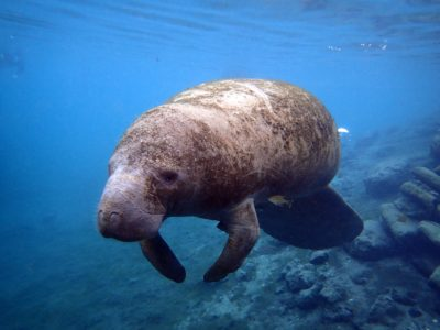 Adult manatee swimming in Crystal River, Florida