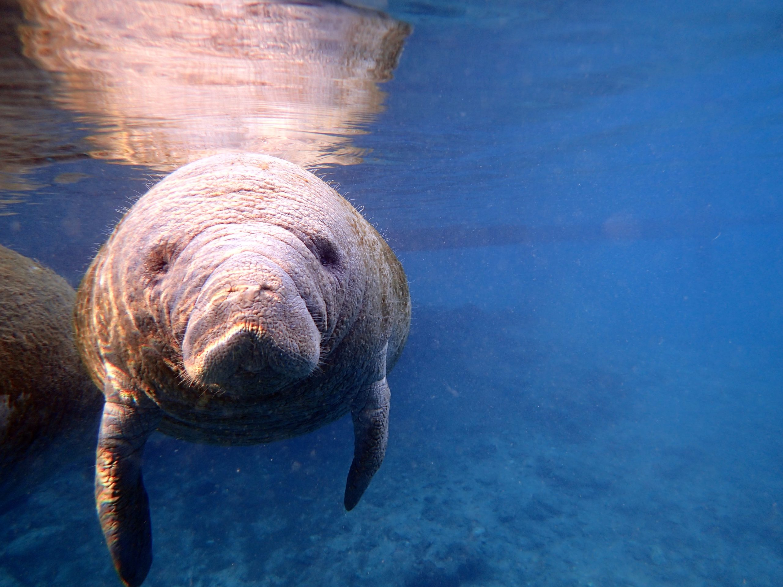 Young manatee up-close in Crystal River, Florida