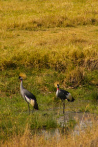 Two African grey crowned cranes