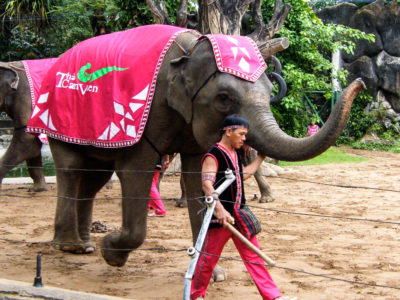Captive elephant show in Vietnam