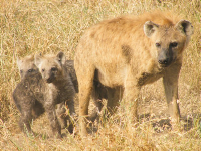 Spotted hyena mother and cubs
