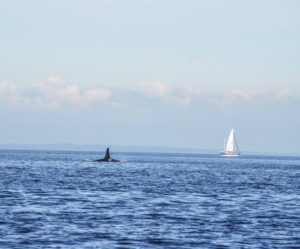 Orca dorsal fin and sail boat