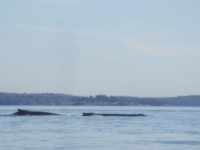 Two humpback whales swimming