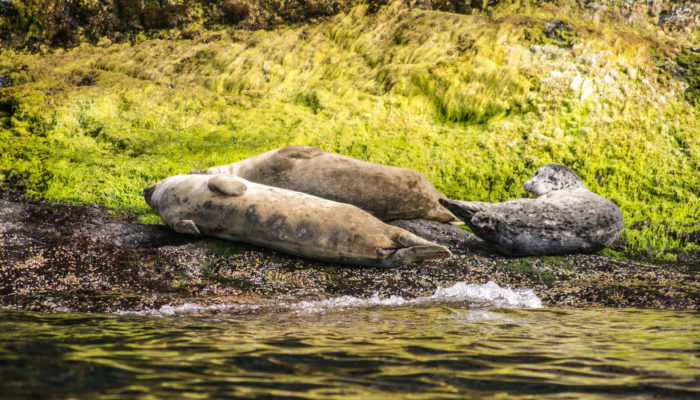 Harbor seals resting on San Juan Island