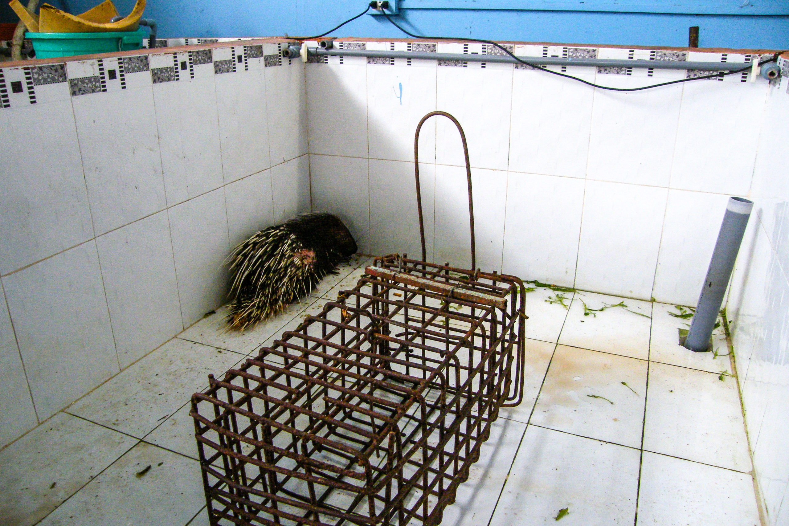 Malayan Porcupine for sale at Restaurant