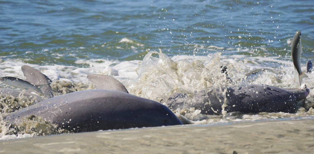 Bottlenose dolphin strand feeding in Kiawah Island, South Carolina