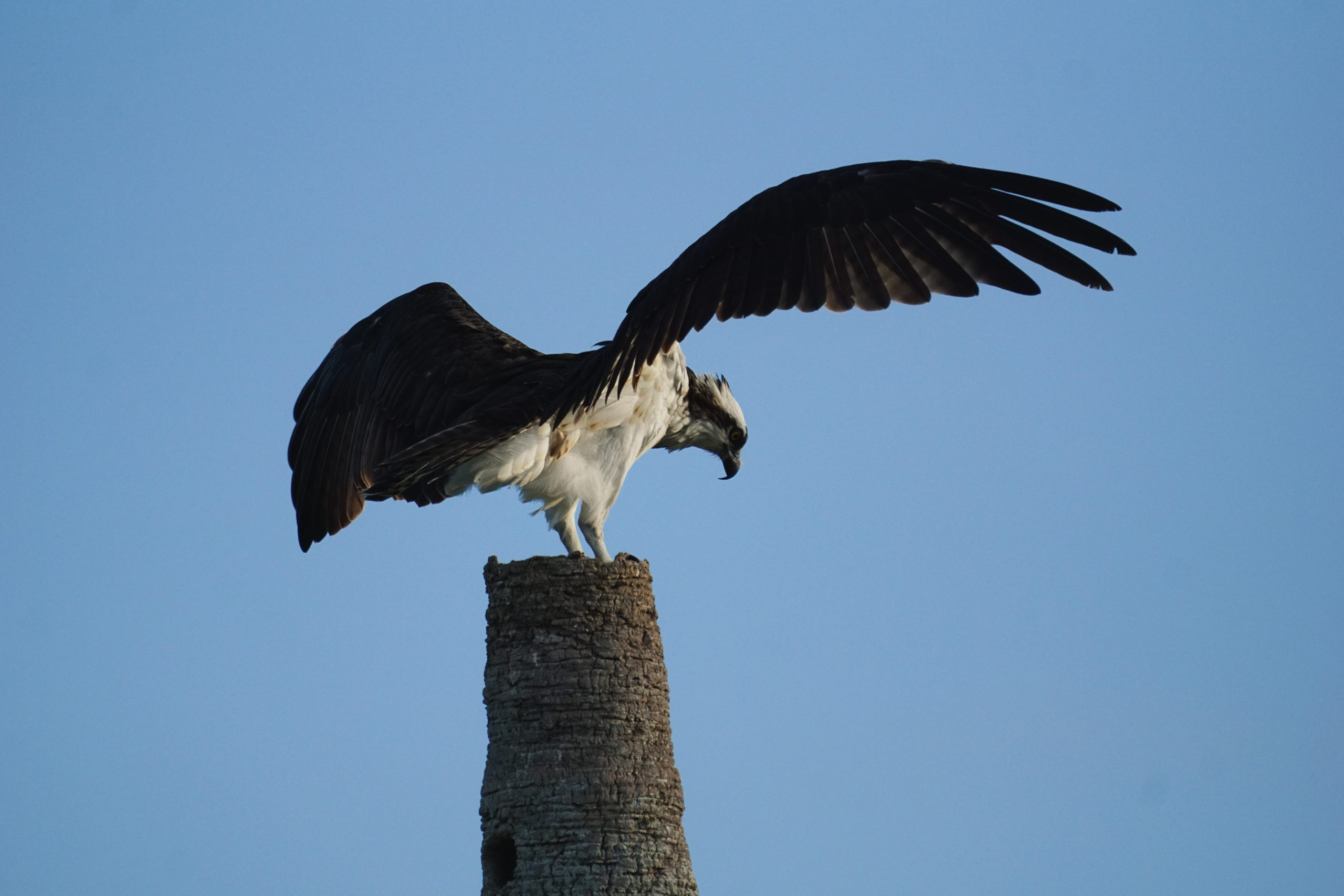 Osprey with wings open