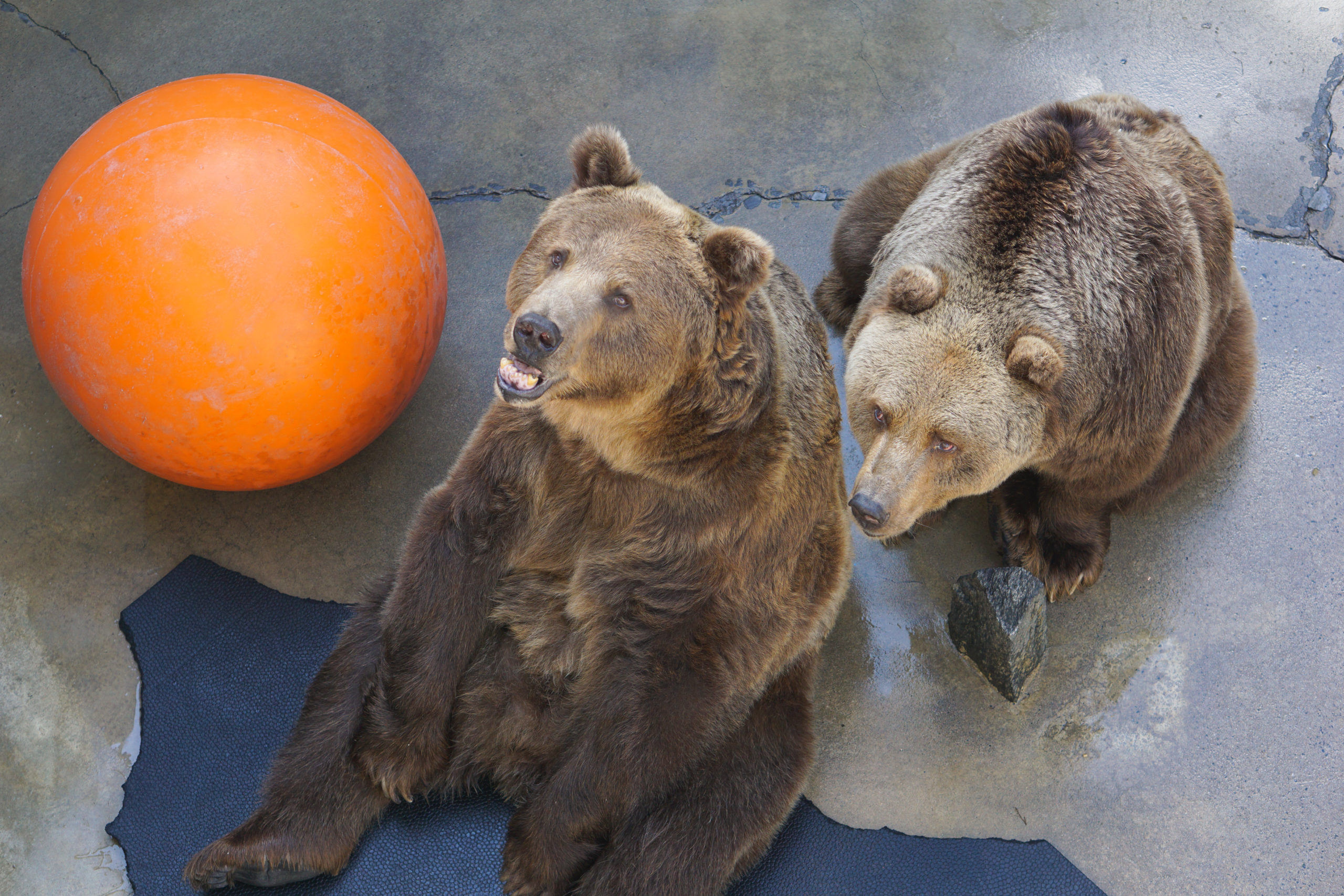 Two brown bears begging for food in their concrete pit