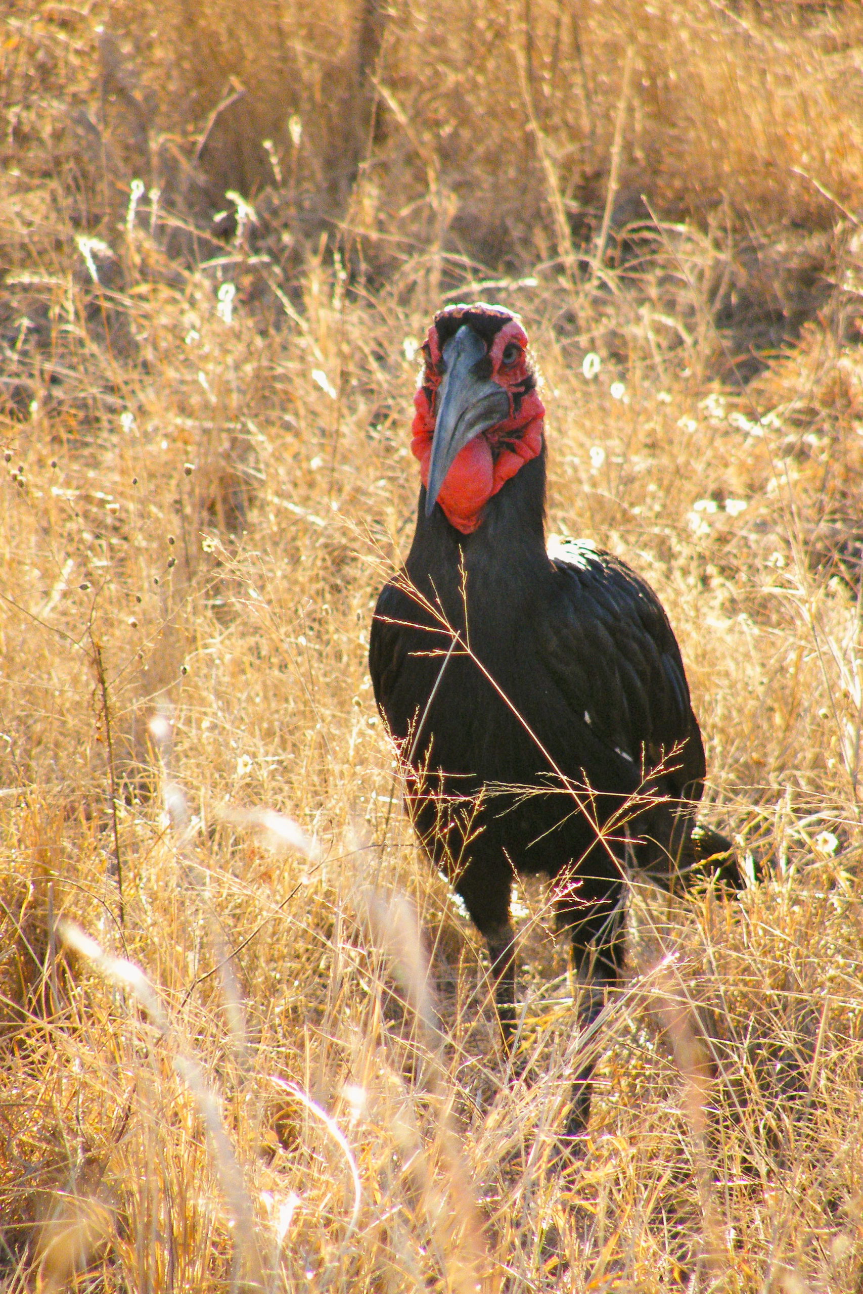 Southern Ground Hornbill South Africa