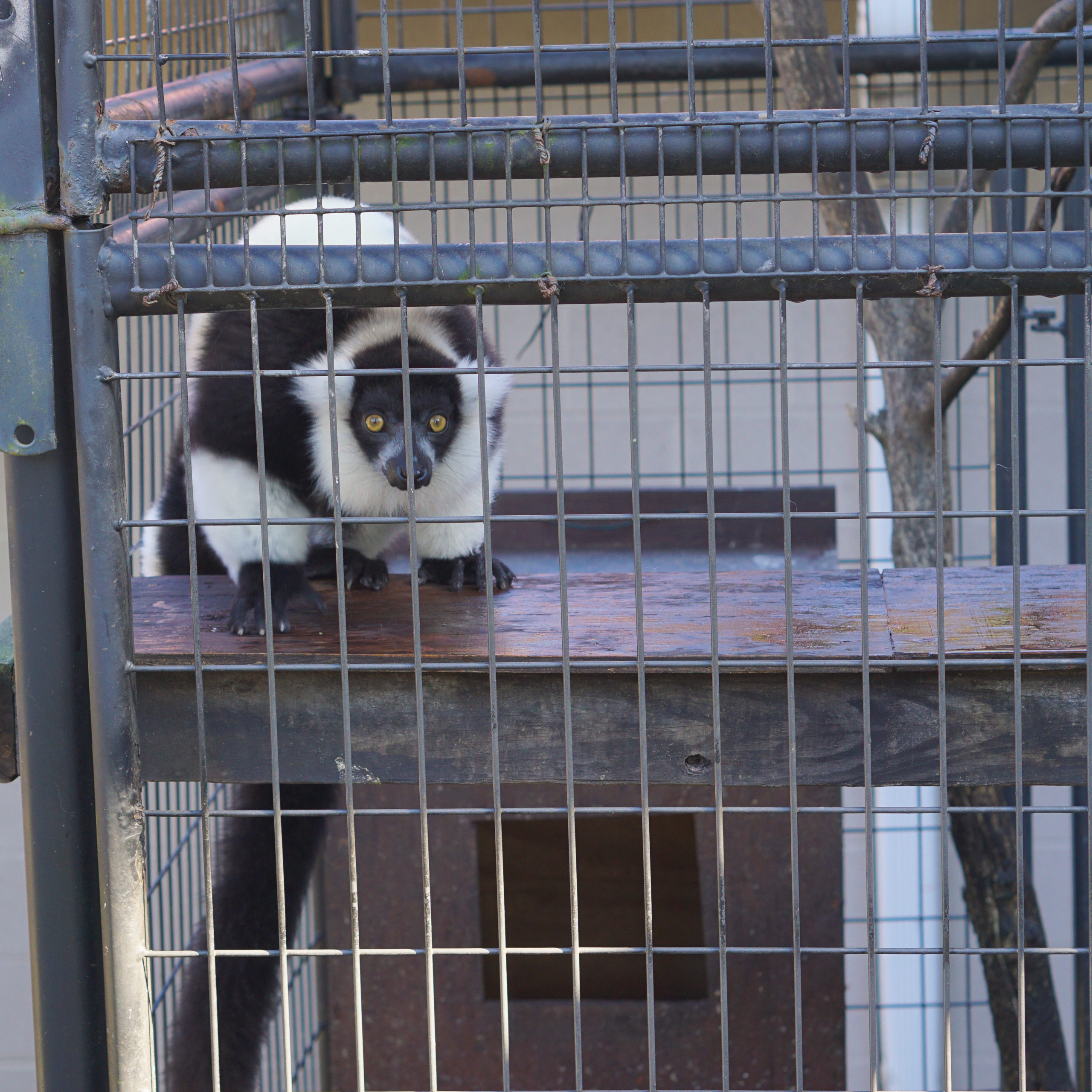 Black and white ruffed lemur trapped in a cage