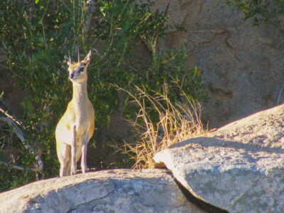 Klipspringer in Kruger National Park, South Africa