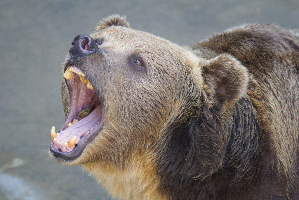 Brown bear with dental issues