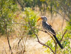 Southern yellow-billed hornbill in Kruger National Park.