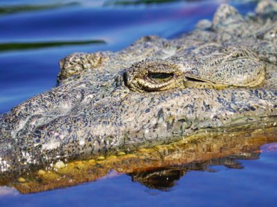 American crocodile eyes