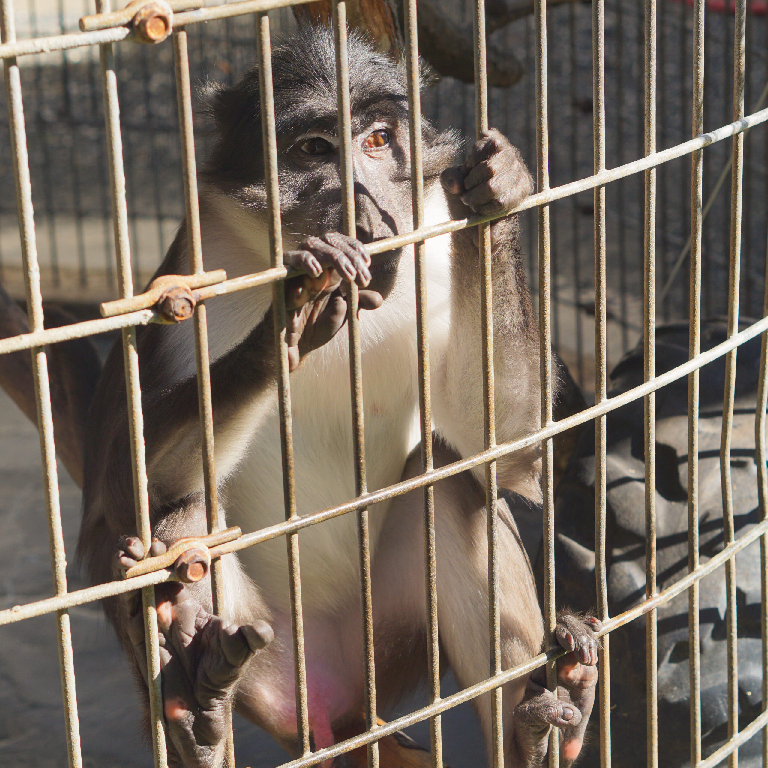 Monkey trapped in a cage at a roadside zoo