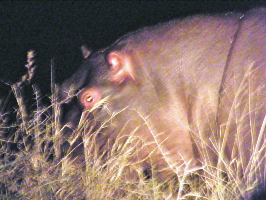 Nile Hippo spot lighted during a Night Game Drive in Kruger National Park South Africa