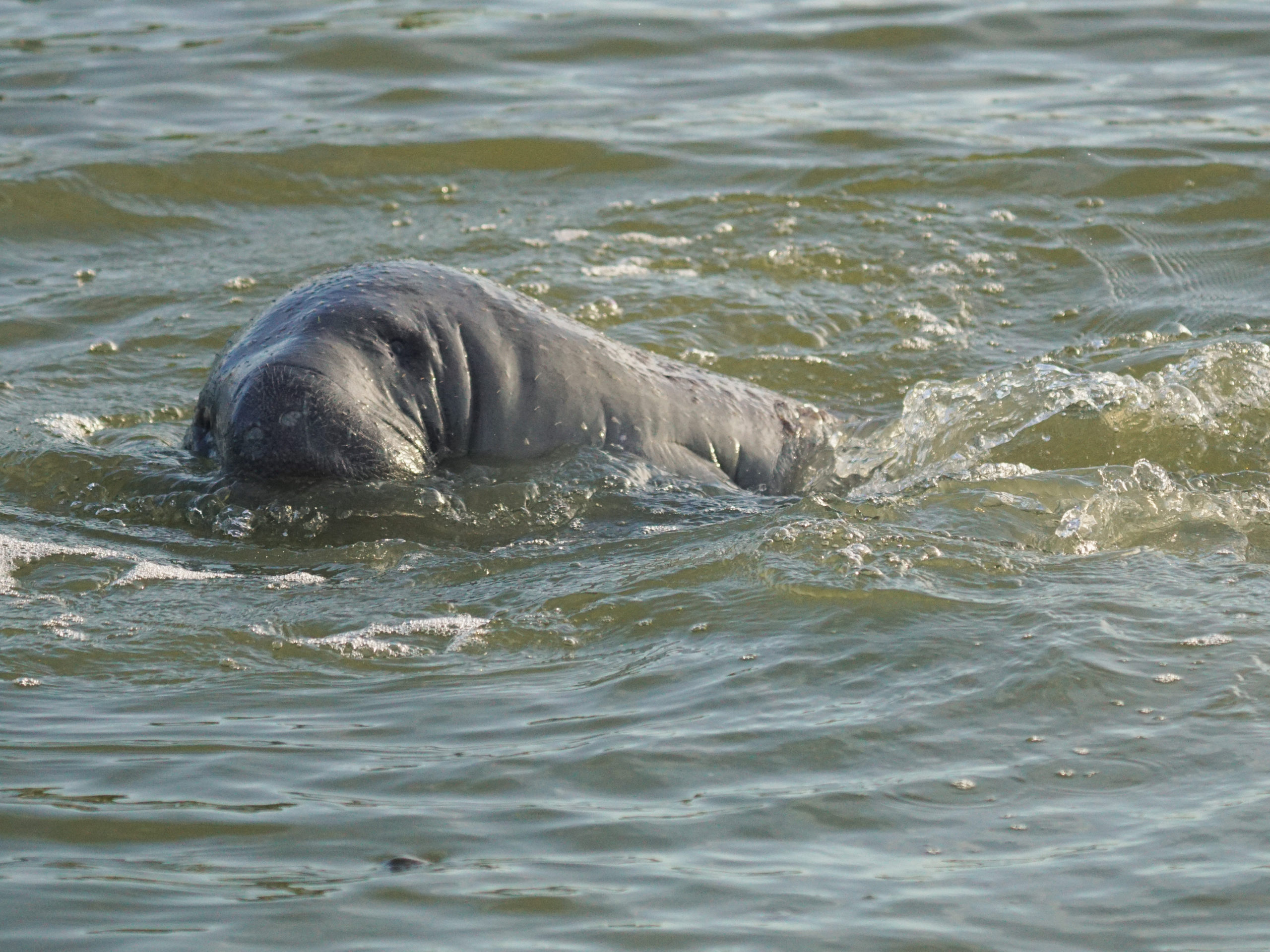 Manatee surfacing in the Everglades