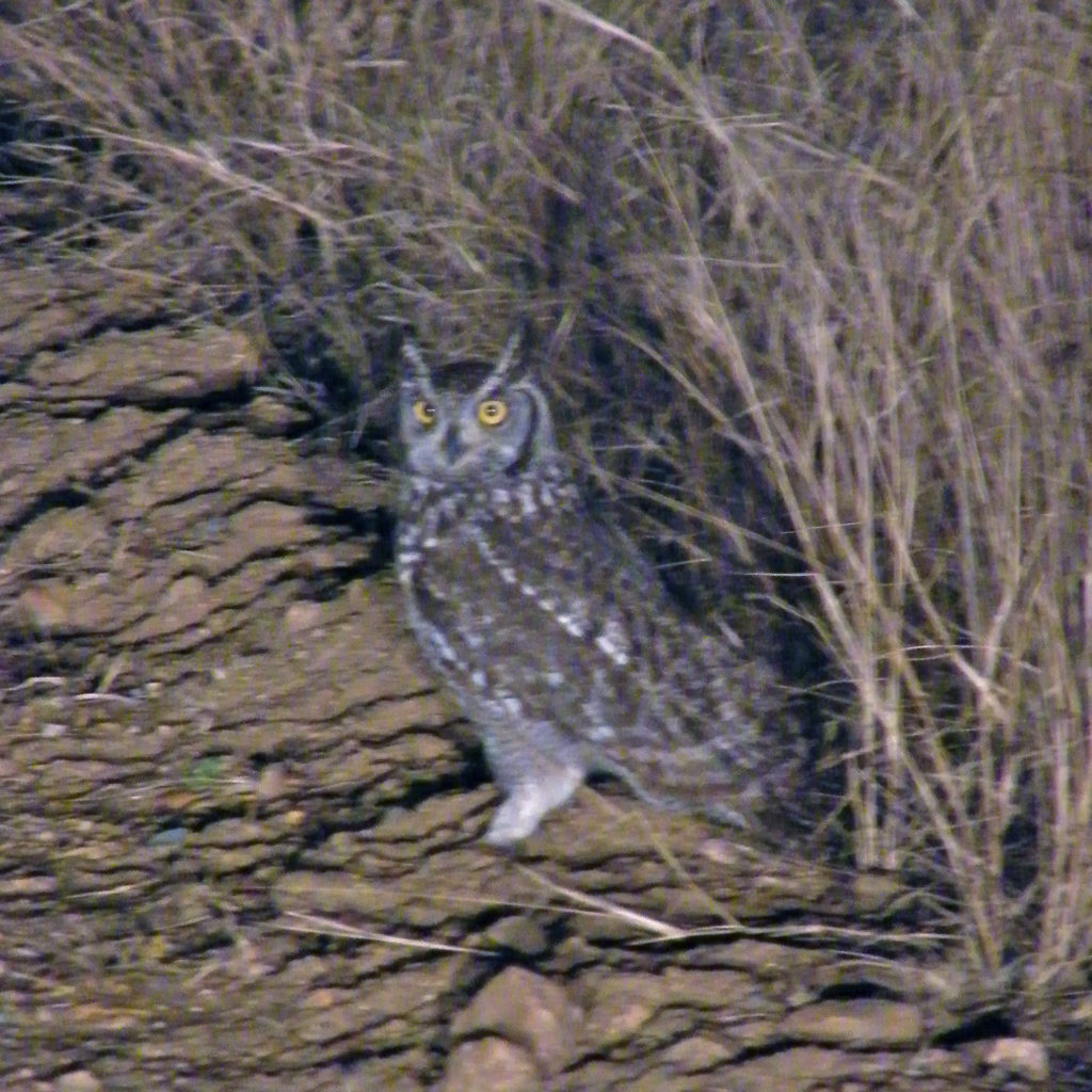 African spotted eagle owl on the ground during a night game drive in South Africa