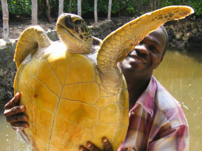 sea turtle being held at an Unethical sea turtle attraction on the island of Zanzibar