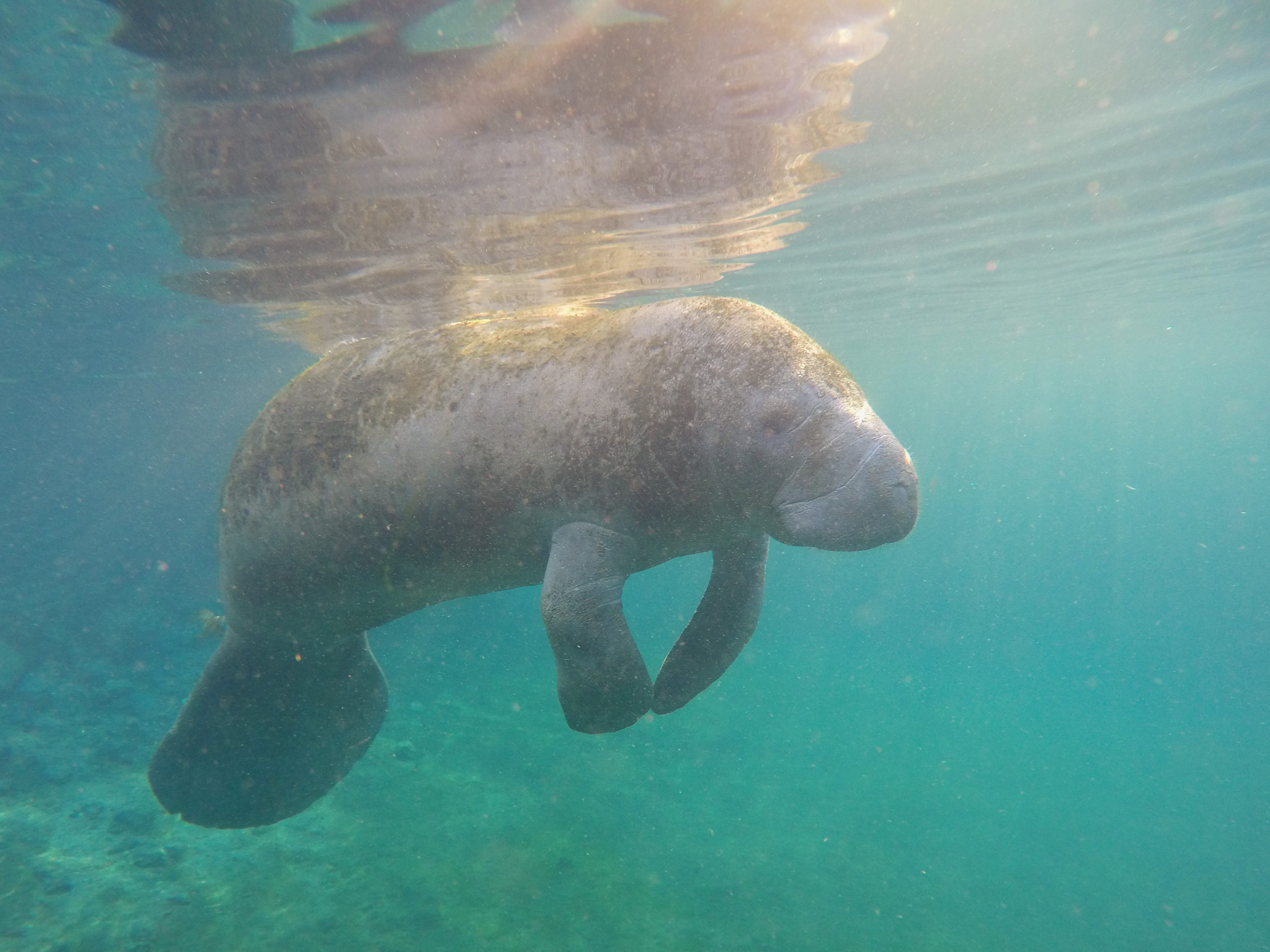 Florida manatee swimming in Crystal River