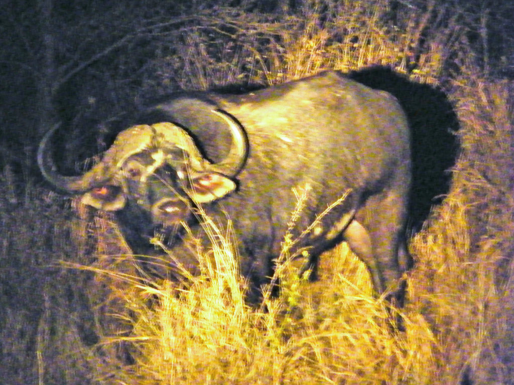 male African cape buffalo at night in Kruger National Par