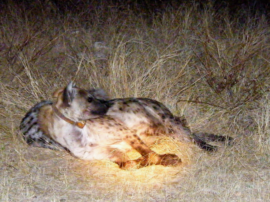 maletwo spotted hyenas resting on an ethical night game drive in Kruger National Park South Africa