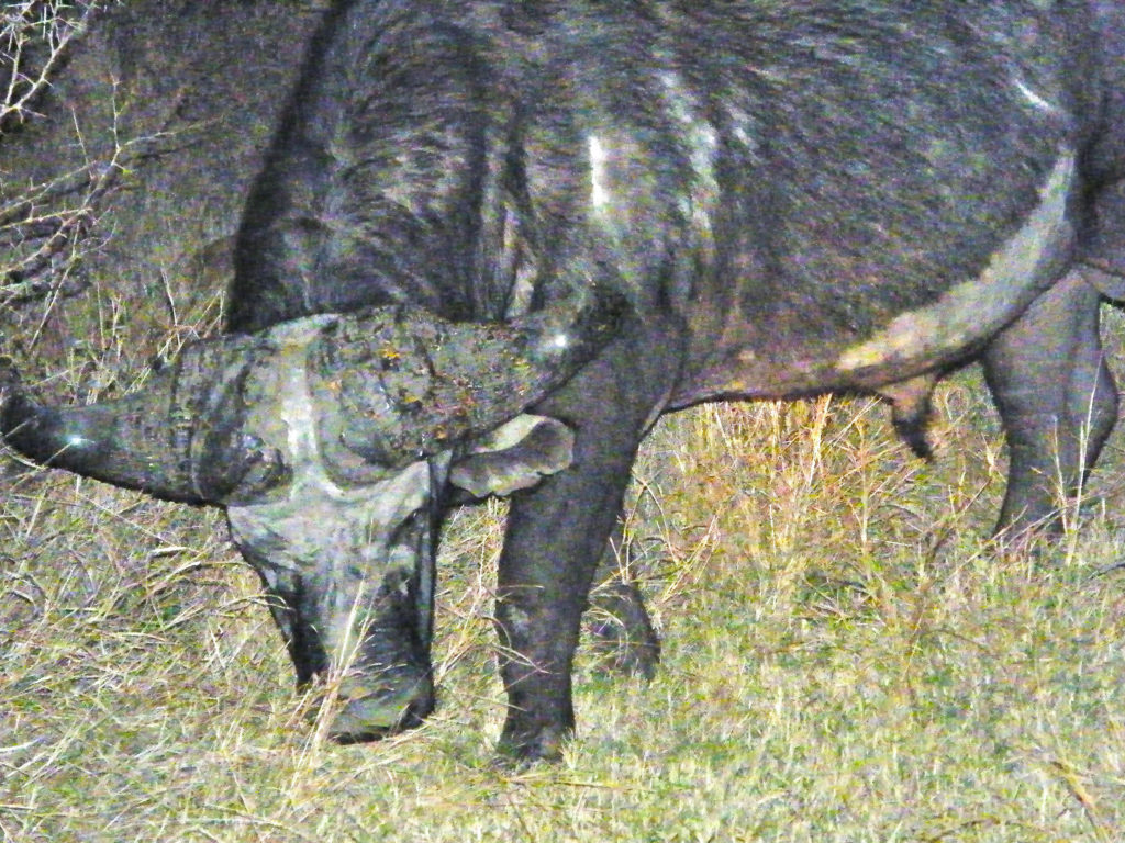 male african cape buffalo on a night game drive in Kruger National Park South Africa