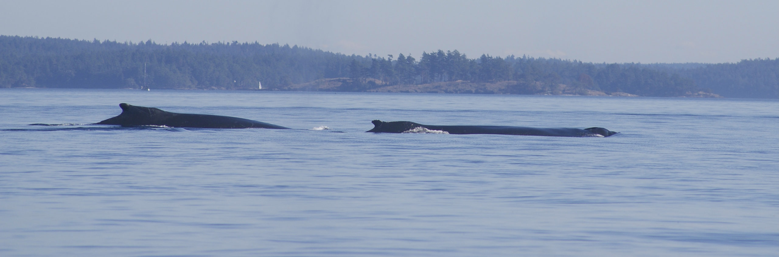 Two humpback whales swimming off of Washington