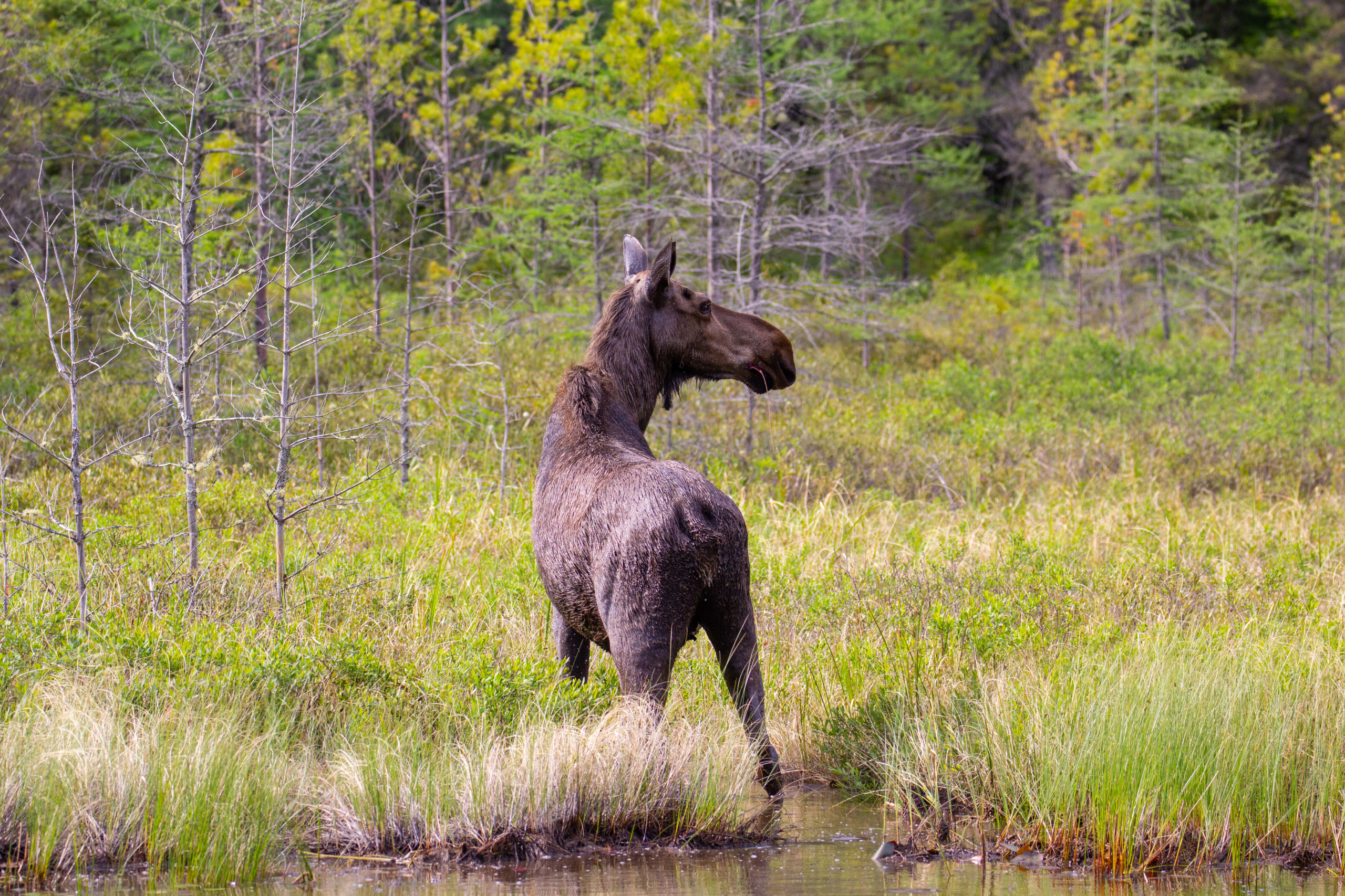 Cow moose foraging in the waters of northern Minnesota