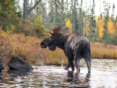 Bull moose wadding in the waters of northern Minnesota.