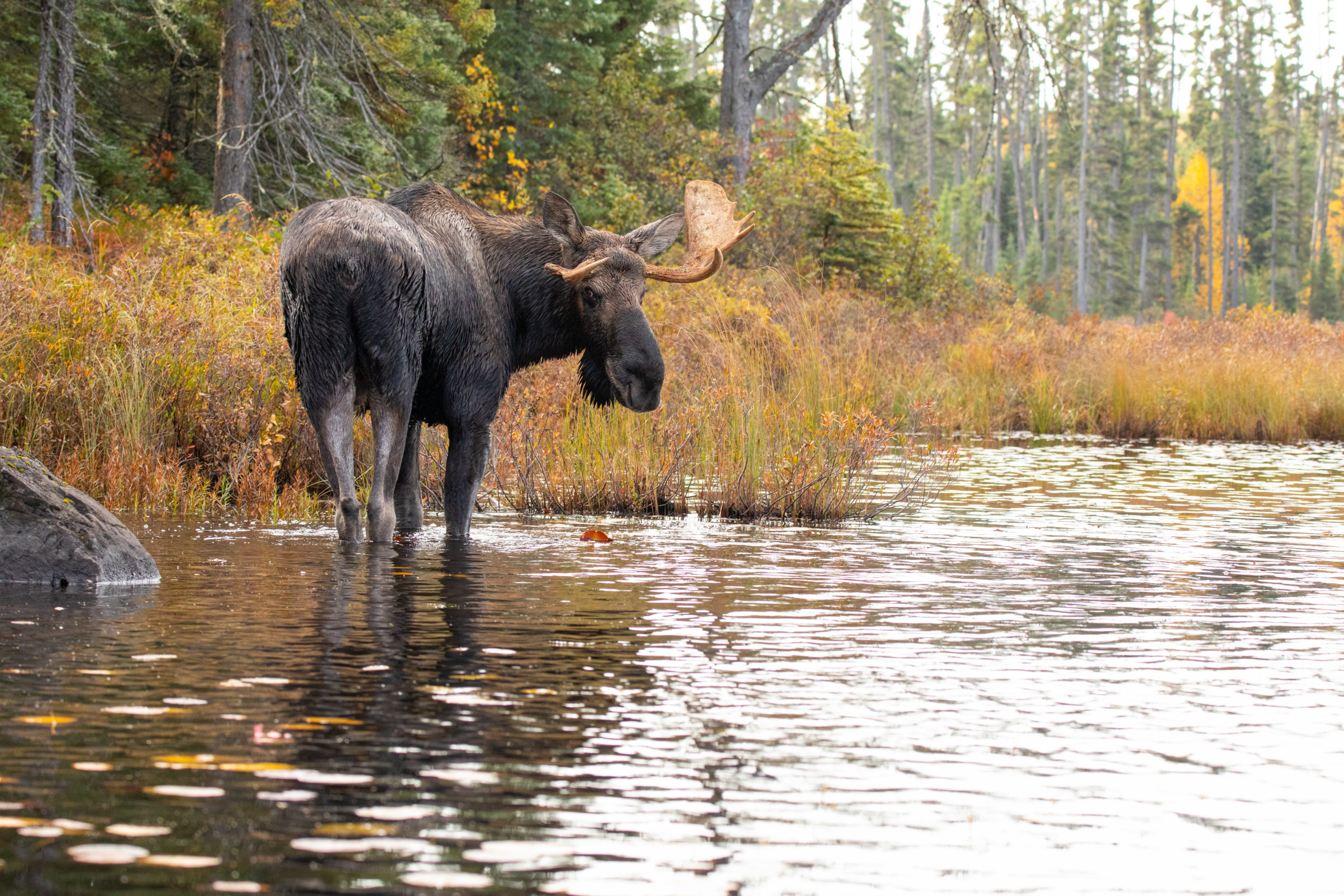 male moose with antlers in the waters of northern Minnesota
