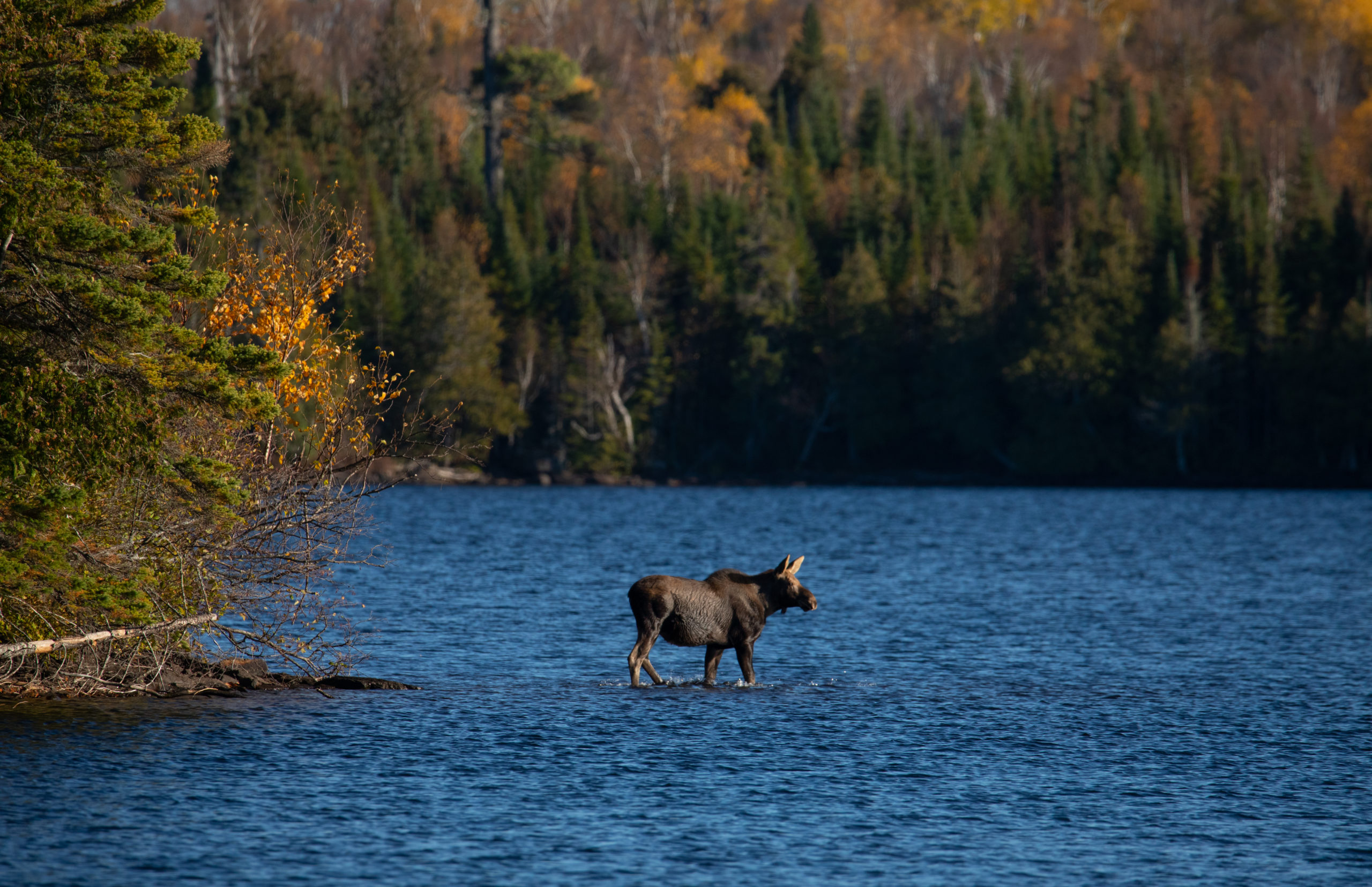 Subadult moose wadding in the shallows of a lake in northern Minnesota