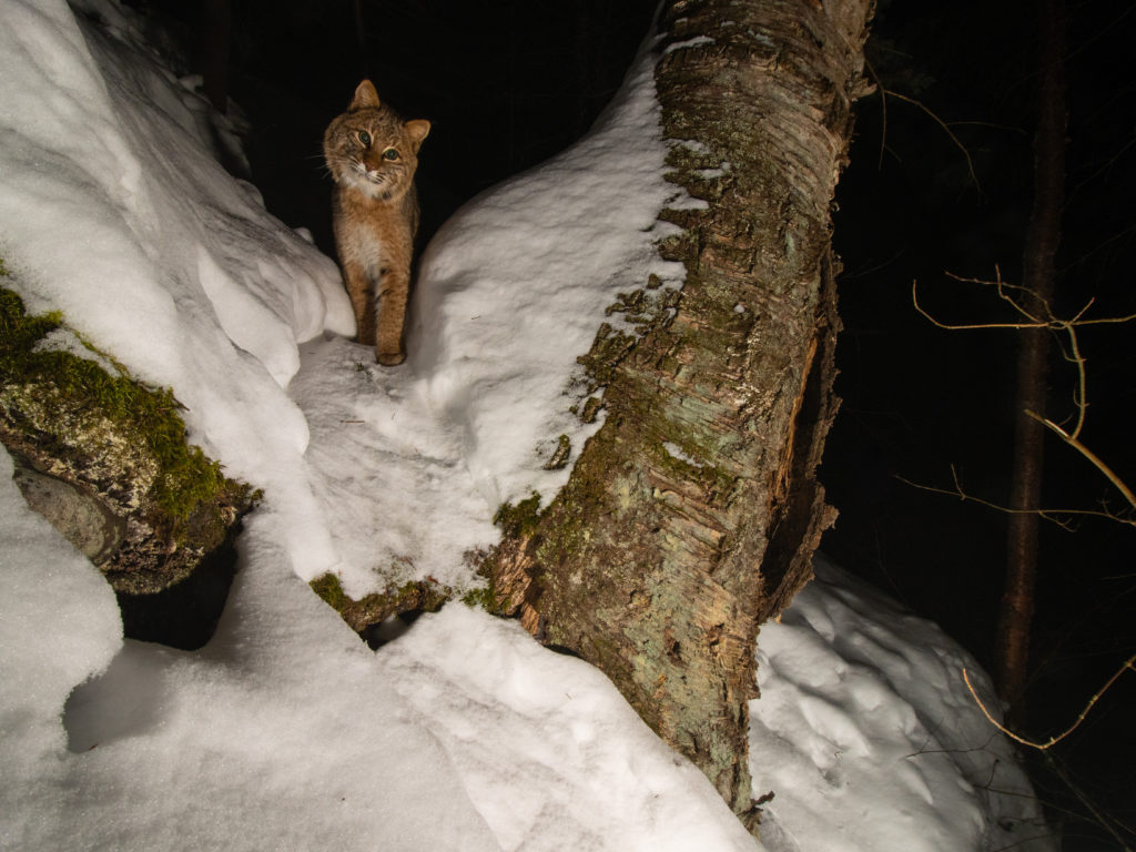 Bobcat at night in a snowy Minnesota winter forest caught by a remote camera