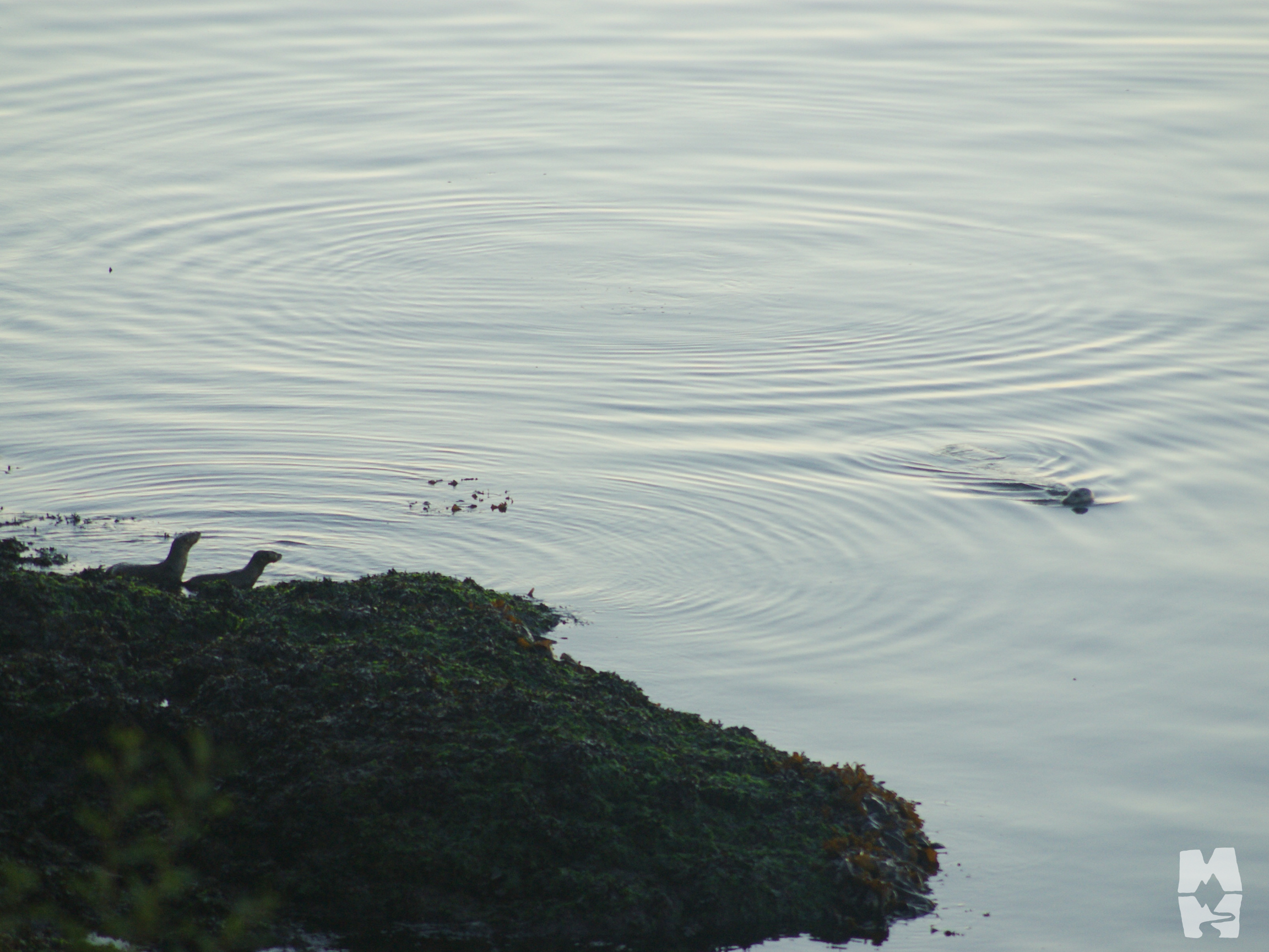 Two river otters on the shore near a harbor seal in the water San Juan Island, Washington