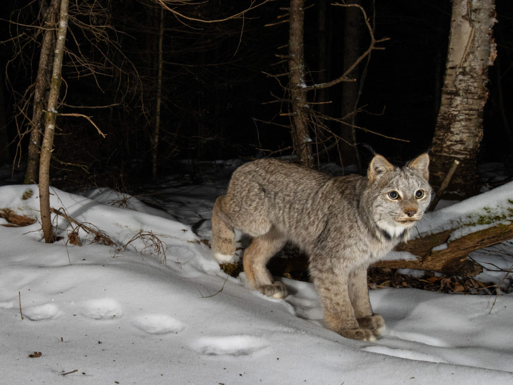 Canada lynx caught on a remote camera trap on a dark Minnesota winter