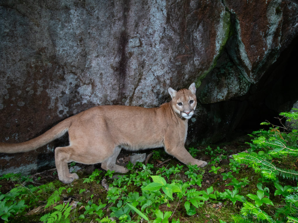 Passing puma in northern Minnesota caught by the flash of a remote camera
