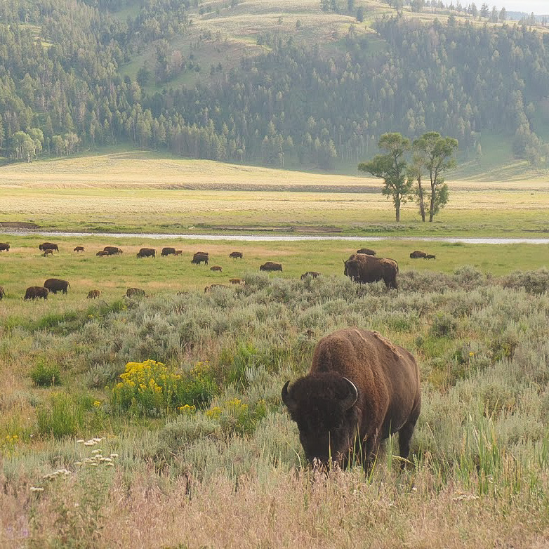 Herd of wild bison grazing a meadow inside Yellowstone National Park