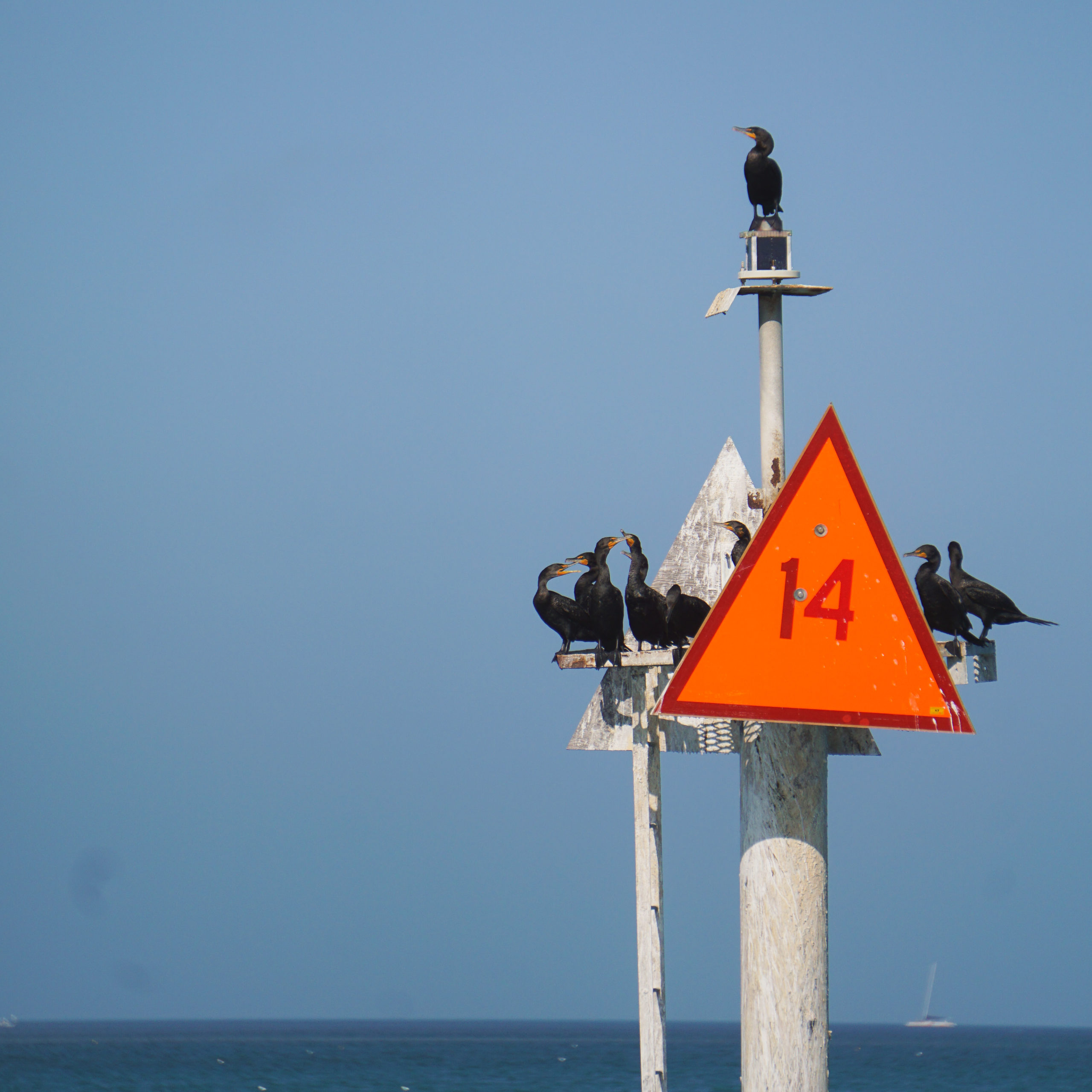 Flock of double-crested cormorants perched on a sign