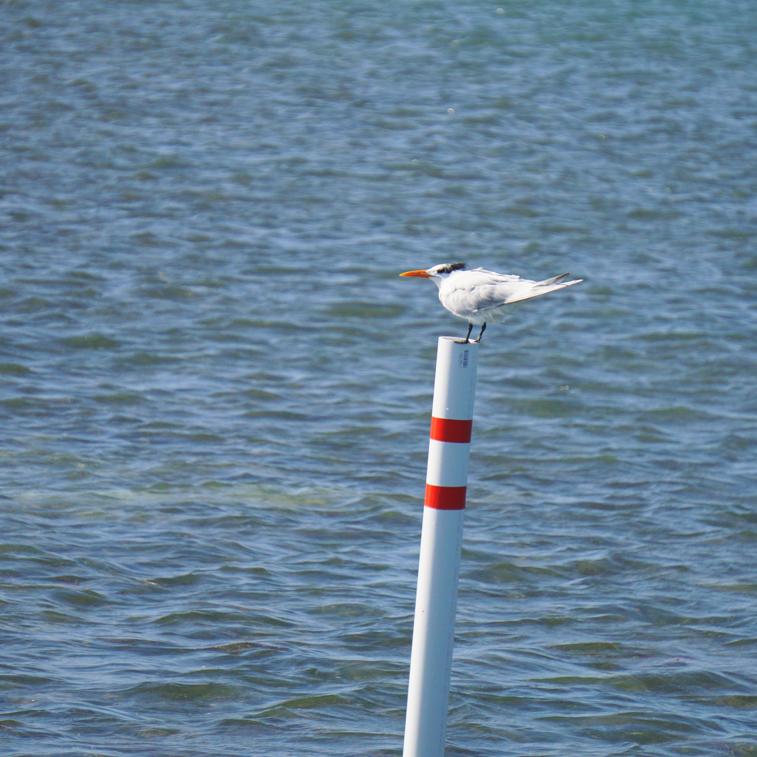 Royal tern bird perched on a white and red pole near Key West