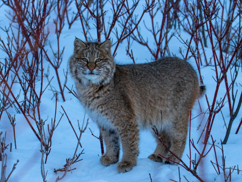 Bobcat in a snowy Minnesota winter forest
