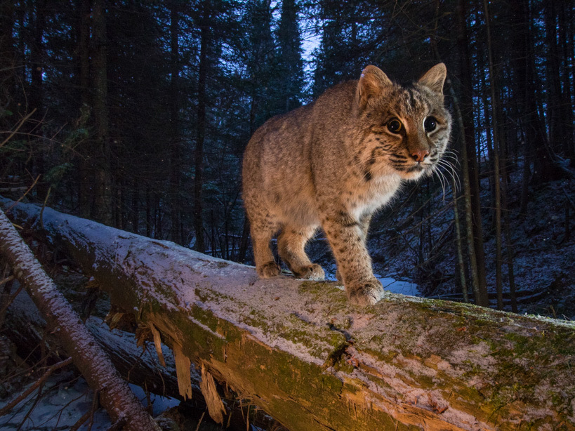 Bobcat walking across a log in a snowy Minnesota winter forest
