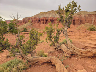tangled logs and red clay with a canyon background inside Capital reef national park