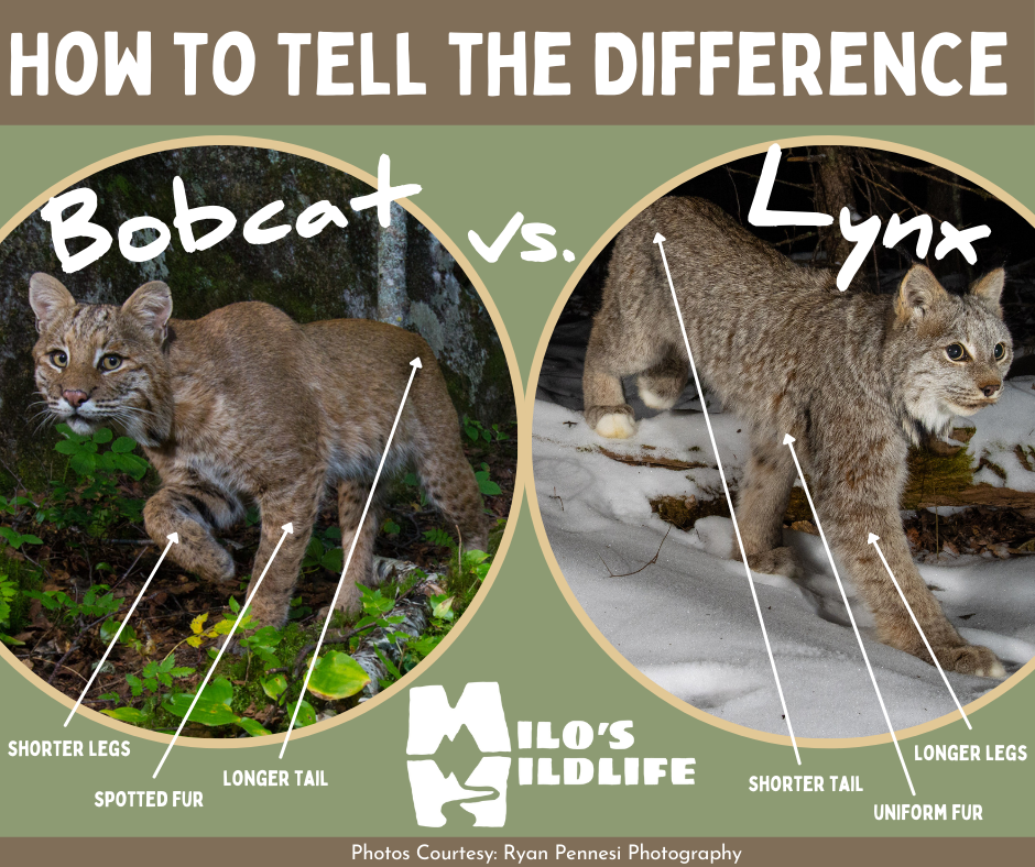 How to tell the difference between a Bobcat and a Lynx graphic with arrows to physical differences