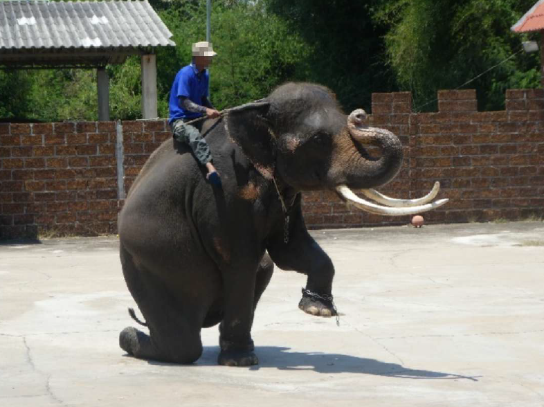 Asian elephant with tusks being ridden during an elephant performance for tourists