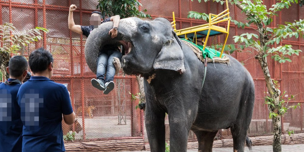 Elephant holding a tourist at an unethical zoo in Thailand
