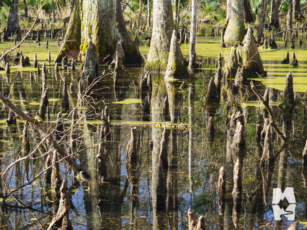 Caw Caw Interpretive Center swamp sanctuary trail with bald cypress tree knees above the water line